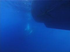 Humpback whale, Megaptera novaeangliae, UP12702 Stock Footage