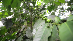 Coffee plant Stock Footage