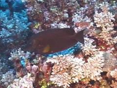 Black rabbitfish swimming, Siganus niger, UP12708 Stock Footage