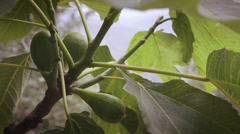 Natural figs on tree Stock Footage