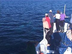 Humpback whale, Megaptera novaeangliae, UP12733 Stock Footage