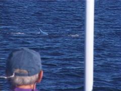 Humpback whale, Megaptera novaeangliae, UP12735 Stock Footage