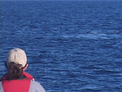 Humpback whale, Megaptera novaeangliae, UP12736 Stock Footage