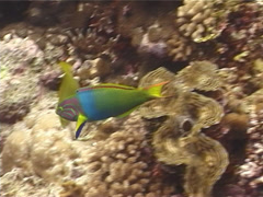 Sunset wrasse swimming, Thalassoma lutescens, UP12750 Stock Footage