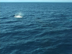 Humpback whale, Megaptera novaeangliae, UP12753 Stock Footage