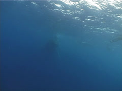Humpback whale, Megaptera novaeangliae, UP12795 Stock Footage