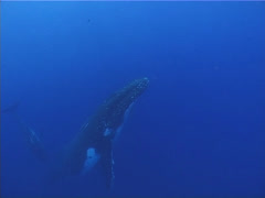 Humpback whale, Megaptera novaeangliae, UP12830 Stock Footage