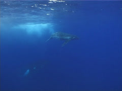 Humpback whale, Megaptera novaeangliae, UP12842 Stock Footage