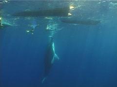 Humpback whale, Megaptera novaeangliae, UP12871 Stock Footage
