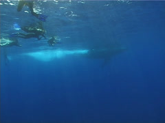 Humpback whale, Megaptera novaeangliae, UP12889 Stock Footage