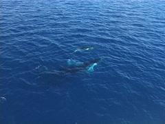 Humpback whale, Megaptera novaeangliae, UP12905 Stock Footage