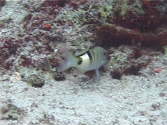 Manybar goatfish hunting, Parupeneus multifasciatus, UP13008 Stock Footage