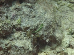 Bicolour cleaner wrasse swimming on cleaning station, Labroides bicolor, UP1301 Stock Footage