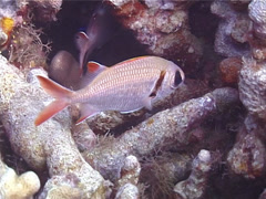 Epaulette soldierfish hovering, Myripristis kuntee, UP13038 Stock Footage