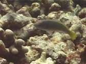 Stock Video Footage of Fish | Parrotfish | Chameleon Parrotfish | Feeding | Tracking