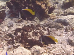 Singular bannerfish swimming, Heniochus singularius, UP13096 Stock Footage