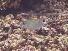 Scribbled rabbitfish feeding, Siganus spinus, UP13119 - stock footage