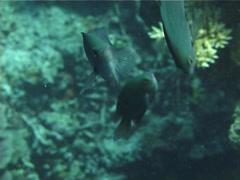 Grey damsel feeding and schooling, Pomacentrus callainus, UP13136 Stock Footage