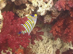 Stock Video Footage of Fish | Angelfish | Regal Angelfish | Feeding | Dolly Shot