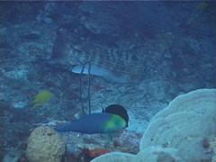 Chinamanfish swimming, Symphorus nematophorus, UP13178 Stock Footage