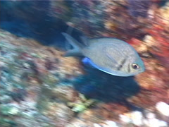 Yellow-speckled chromis swimming, Chromis alpha, UP13179 Stock Footage
