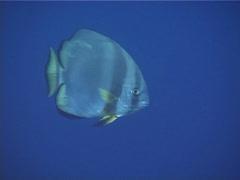 Round batfish swimming, Platax orbicularis, UP13180 Stock Footage