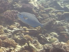 Lowfin drummer swimming, Kyphosus vaigiensis, UP13186 Stock Footage