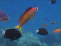 Redfin anthias swimming, Pseudanthias dispar, UP13196 Stock Footage