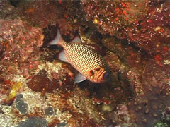 Shadowfin soldierfish hovering, Myripristis adusta, UP13228 Stock Footage