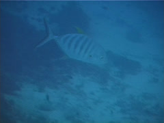 Blue trevally swimming, Carangoides ferdau, UP13234 Stock Footage