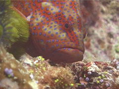 Coral cod cleaning and being cleaned, Cephalopholis miniata, UP13245 Stock Footage
