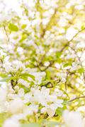 Blossoming white flowers Stock Photos