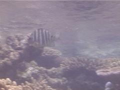 Blackspot sergeant swimming and schooling, Abudefduf sordidus, UP13262 Stock Footage