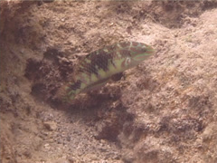 Male adult Weedy surge wrasse feeding, Halichoeres margaritaceus, UP13263 Stock Footage
