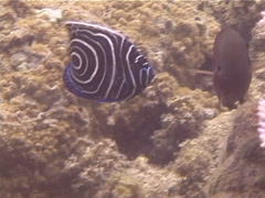 Juvenile Emperor angelfish swimming, Pomacanthus imperator, UP13267 Stock Footage