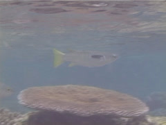 Squaretail mullet swimming, Ellochelon vaigiensis, UP13268 Stock Footage