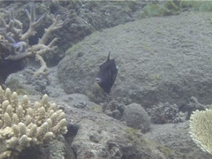 Flagtail triggerfish swimming, Sufflamen chrysopterum, UP13274 Stock Footage