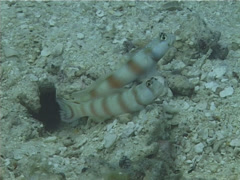 Ellipse shrimpgoby territorial, Amblyeleotris ellipse, UP13294 Stock Footage