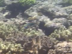 Male adult Three-ribbon wrasse swimming, Stethojulis trilineata, UP13310 Stock Footage