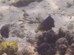 Juvenile Minifin parrotfish swimming, Scarus altipinnis, UP13311 Stock Footage