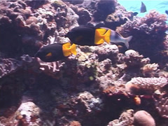 Uspi rabbitfish swimming, Siganus uspi, UP1332 Stock Footage