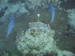 Marr's fusilier swimming, Pterocaesio marri, UP13320 Stock Footage