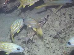 Cardinal goatfish swimming, Parupeneus ciliatus, UP13343 Stock Footage