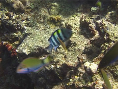 Indo-Pacific sergeant territorial, Abudefduf vaigiensis, UP13345 Stock Footage