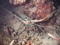 Painted spiny lobster walking at night, Panulirus versicolor, UP13377 Stock Footage