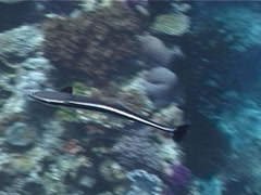 Juvenile Suckerfish swimming on shallow coral reef, Echeneis naucrates, UP1339 Stock Footage