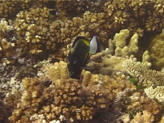Whitecheek surgeonfish feeding, Acanthurus nigricans, UP13412 Stock Footage
