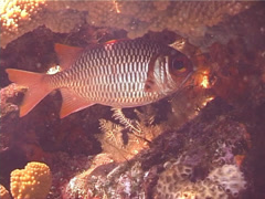 Violet soldierfish hovering, Myripristis violacea, UP13434 Stock Footage