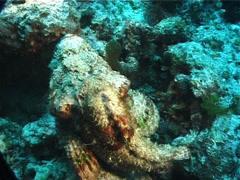 False stonefish swimming, Scorpaenopsis diabolus, UP1348 Stock Footage