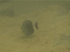 Juvenile Yellowfin surgeonfish feeding, Acanthurus xanthopterus, UP13482 Stock Footage